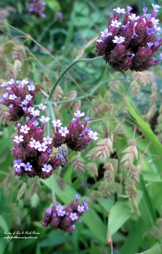 Verbena Bonariensis ~ self-sowing annual