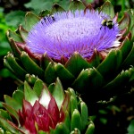 bees on artichokes http://ourfairfieldhomeandgarden.com/field-trip-the-unusual-and-romantic-gardens-of-chanticleer/