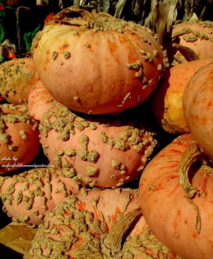Peanut Pumpkins http://ourfairfieldhomeandgarden.com/field-trip-gourds-galore-and-norman-the-pot-bellied-pig-at-marinis-market/