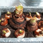 forcing bulbs https://ourfairfieldhomeandgarden.com/diy-project-save-money-by-creating-your-own-fancy-potted-paperwhites-amaryllis-bulb-gardens-as-holiday-gifts-or-decorations/