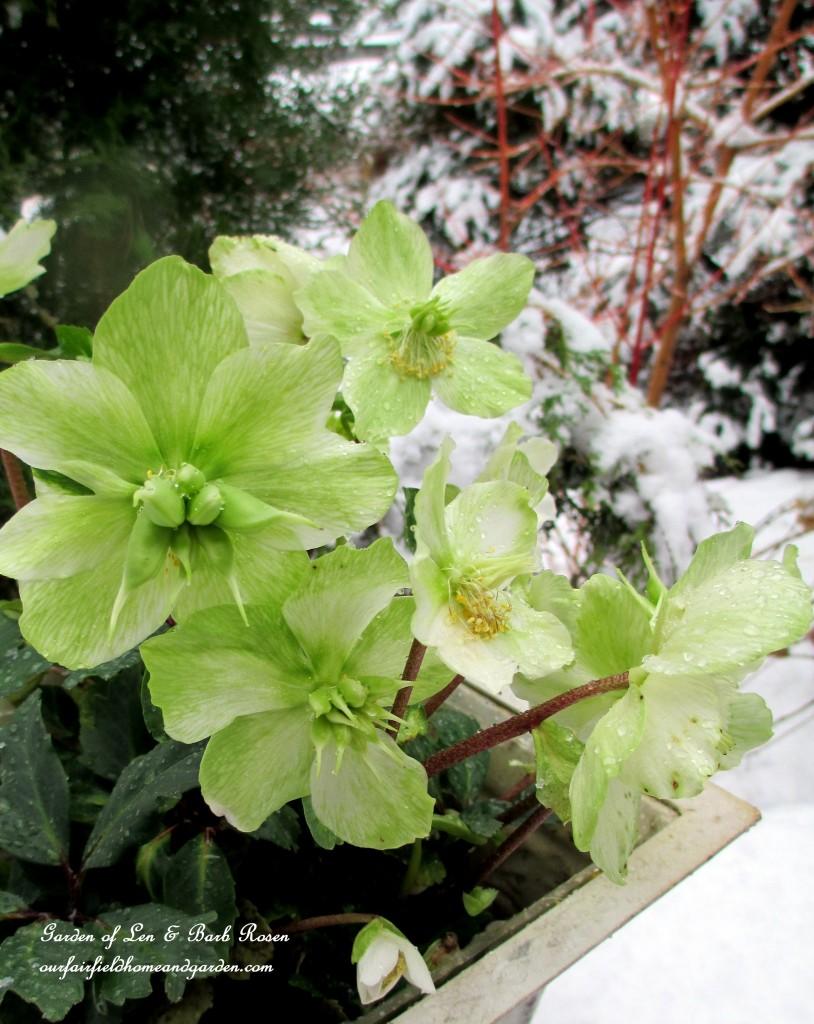 Hellebores http://ourfairfieldhomeandgarden.com/winter-wonderland-it-finally-snowed/