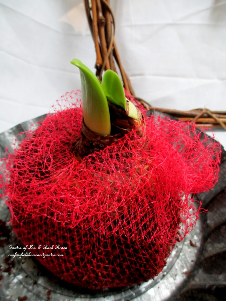 amaryllis bulbs set in potting soil wrapped in netting https://ourfairfieldhomeandgarden.com/diy-amaryllis-heart-wreath/
