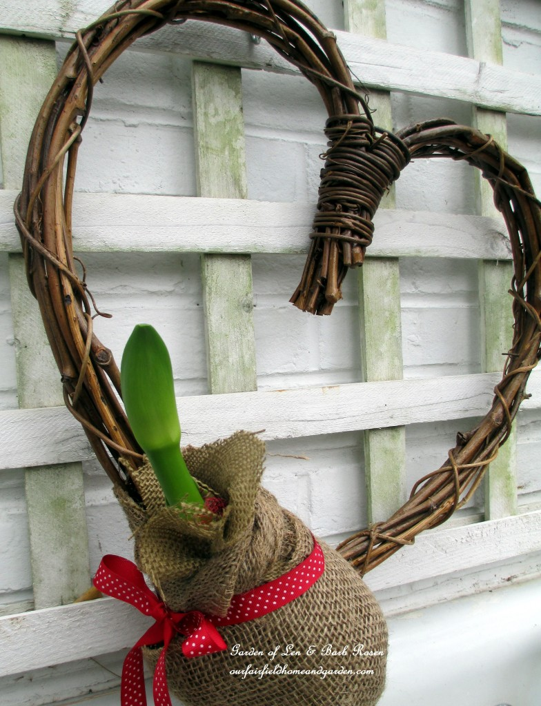 stalks starting to grow http://ourfairfieldhomeandgarden.com/diy-amaryllis-heart-wreath/