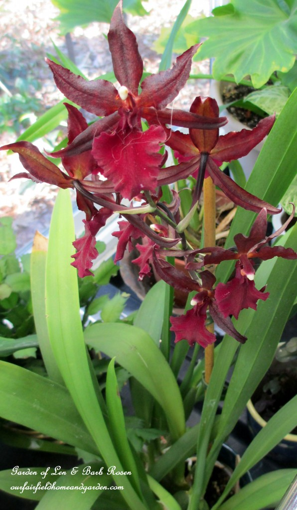 orchids bloom year-round http://ourfairfieldhomeandgarden.com/my-winter-sanctuary-scenes-from-a-garden-room/