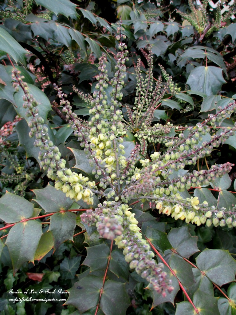 Mahonia Japonica just starting to bloom in mid-January http://ourfairfieldhomeandgarden.com/heart-home-valentines-day-is-coming/