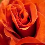 terra-cotta rose