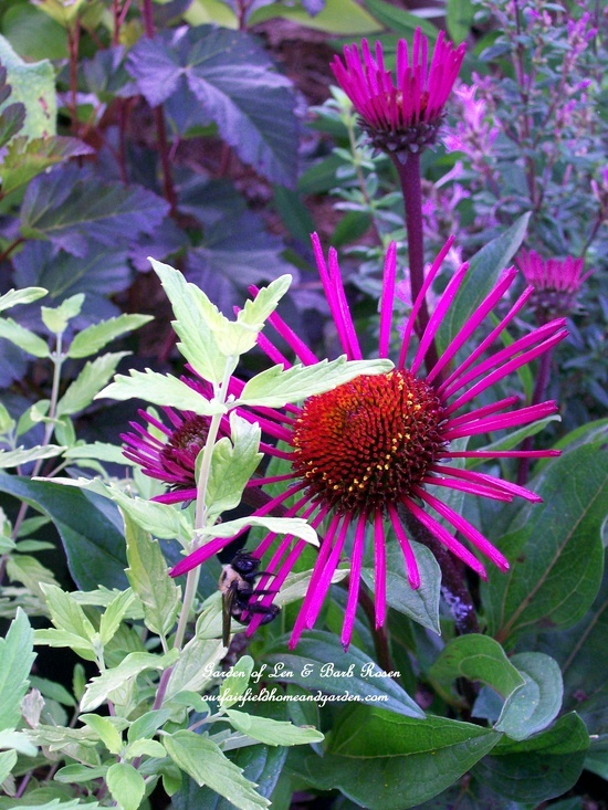 "Echinacea ""Burgundy Fireworks"", Caryopteris ""Little Miss Sunshine"" and Ninebark ""Coppertina"""