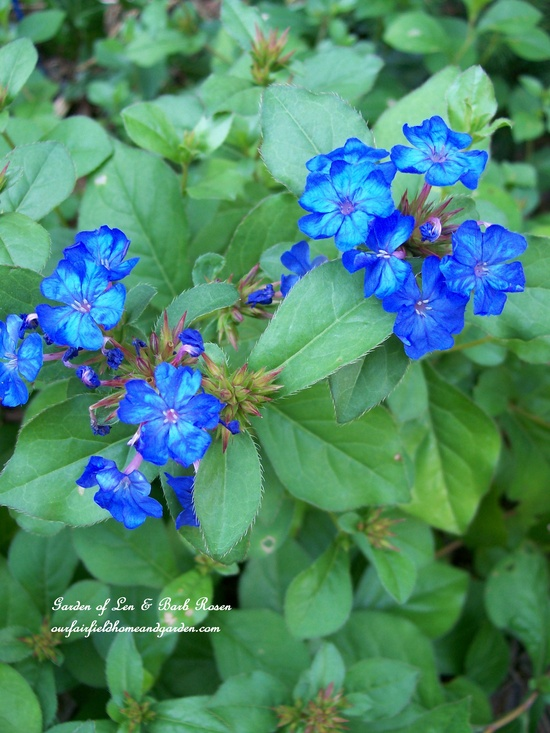 Plumbago with anything!