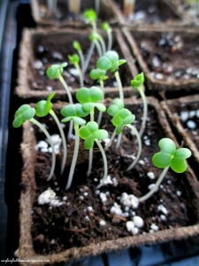 Bok Choy seedlings https://ourfairfieldhomeandgarden.com/dch-workshop-pushing-spring-early-planting-for-the-impatient-gardener-with-alice-george-davis/