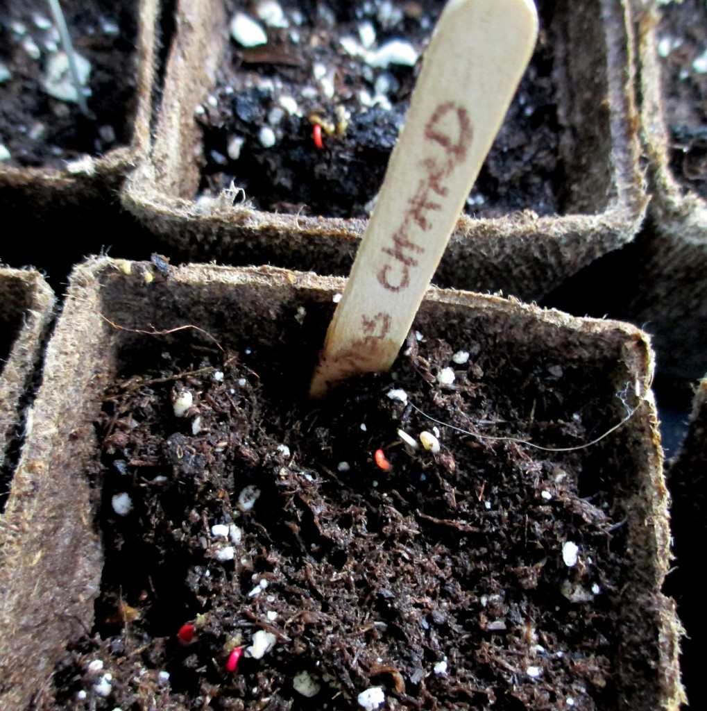 Swiss Chard emerging after just five days! http://ourfairfieldhomeandgarden.com/dch-workshop-pushing-spring-early-planting-for-the-impatient-gardener-with-alice-george-davis/