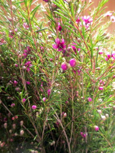 Tiny pink Waxflowers add a hint of color.