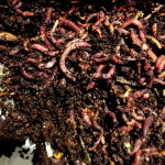 add the red wriggler worms