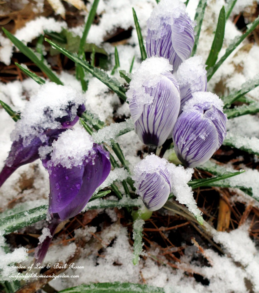 Snow Crocus http://ourfairfieldhomeandgarden.com/spring-snow-march-25th-the-groundhog-lied/