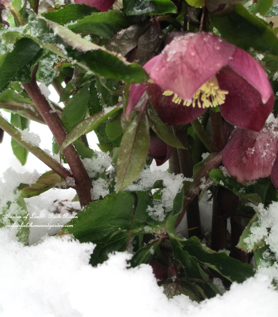 Pink Hellebore in the snow https://ourfairfieldhomeandgarden.com/spring-snow-march-25th-the-groundhog-lied/