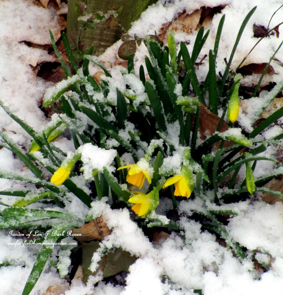 Tete a Tetes by the back fence https://ourfairfieldhomeandgarden.com/spring-snow-march-25th-the-groundhog-lied/