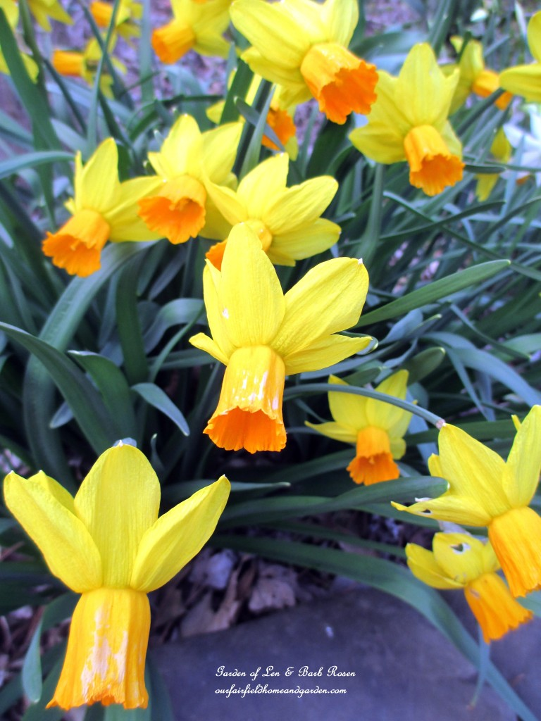 """Jet Fire"" Daffodils https://ourfairfieldhomeandgarden.com/spring-is-here-early-spring-blossoms/"