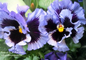 Ruffled Pansies http://ourfairfieldhomeandgarden.com/spring-is-here-early-spring-blossoms/
