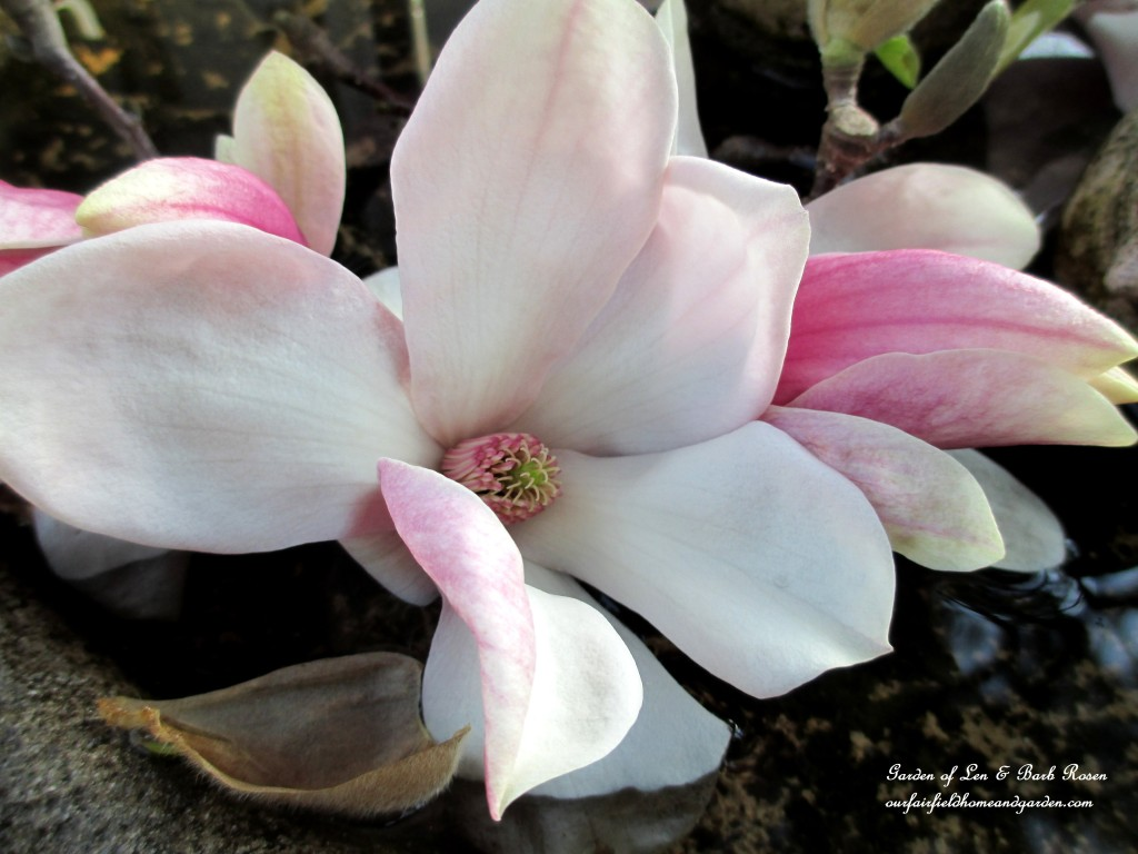 Tulip Magnolia Bloom http://ourfairfieldhomeandgarden.com/spring-is-here-early-spring-blossoms/