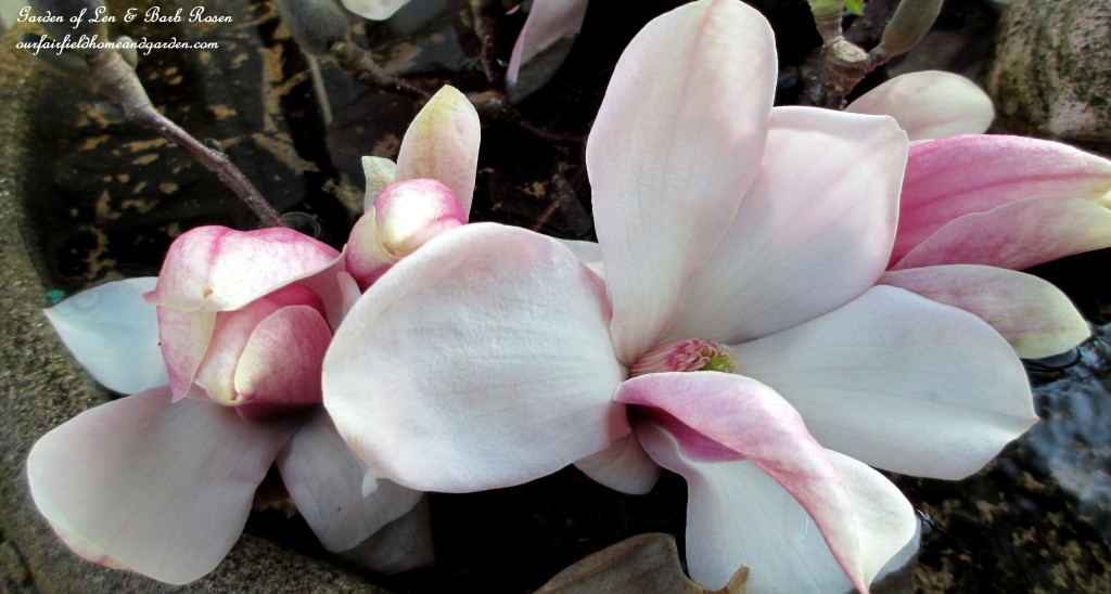 Tulip Magnolia Blooms http://ourfairfieldhomeandgarden.com/spring-is-here-early-spring-blossoms/