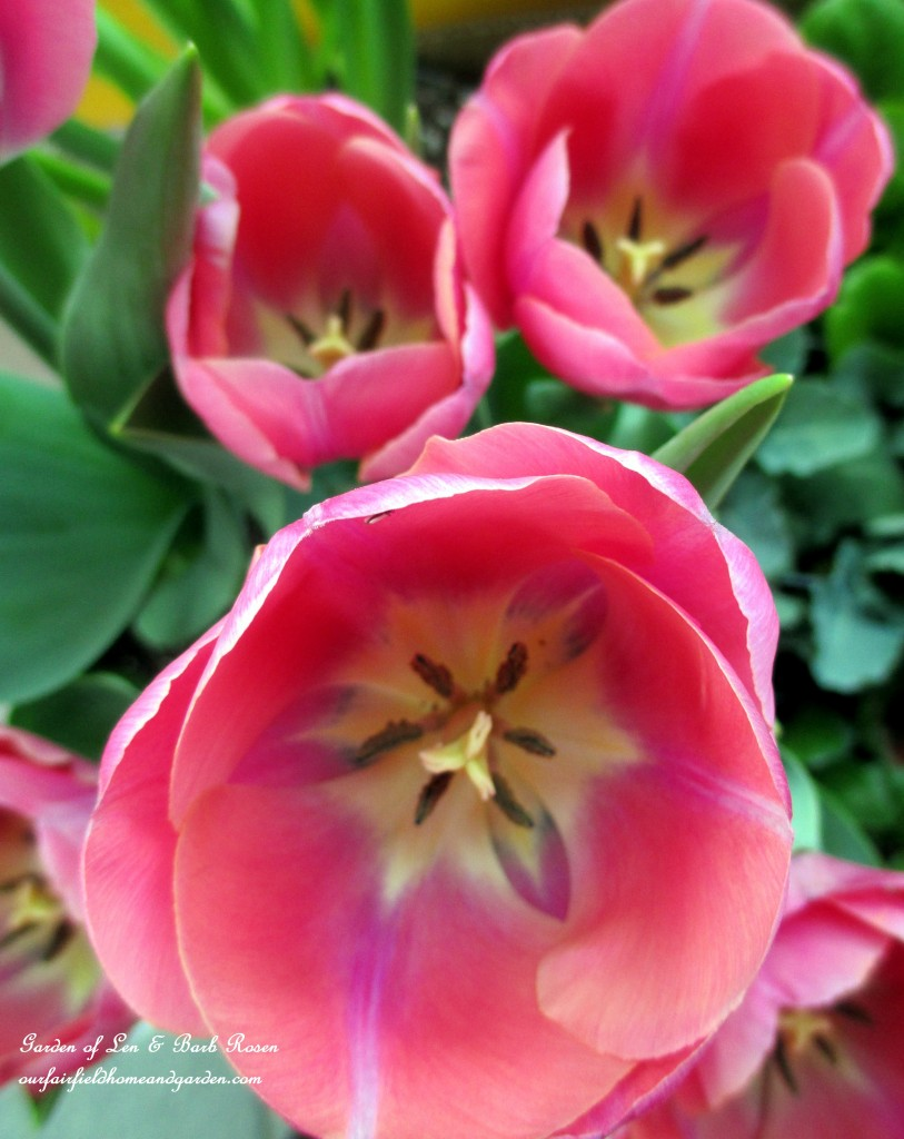 Pink Tulips https://ourfairfieldhomeandgarden.com/spring-is-here-early-spring-blossoms/