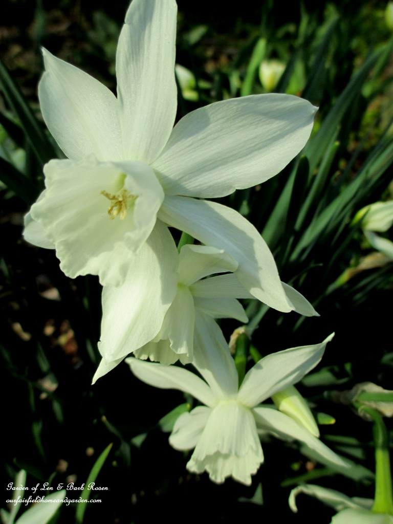 """""""Thalia"""" Narcissus https://ourfairfieldhomeandgarden.com/spring-is-here-early-spring-blossoms/"""