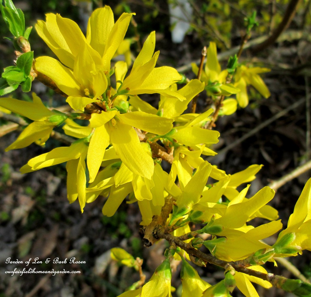 Forsythia blooming http://ourfairfieldhomeandgarden.com/spring-is-here-early-spring-blossoms/