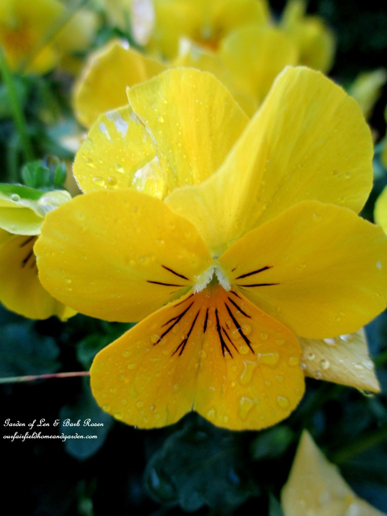 tiny yellow Violas https://ourfairfieldhomeandgarden.com/mid-april-spring-blooms-in-the-garden/