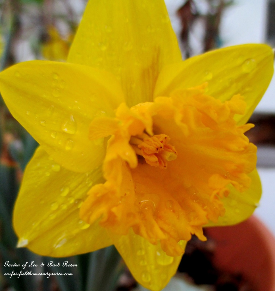 Daffodil fresh from the rain http://ourfairfieldhomeandgarden.com/mid-april-spring-blooms-in-the-garden/