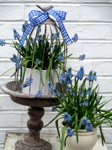 Muscari cloche http://ourfairfieldhomeandgarden.com/mid-april-spring-blooms-in-the-garden/