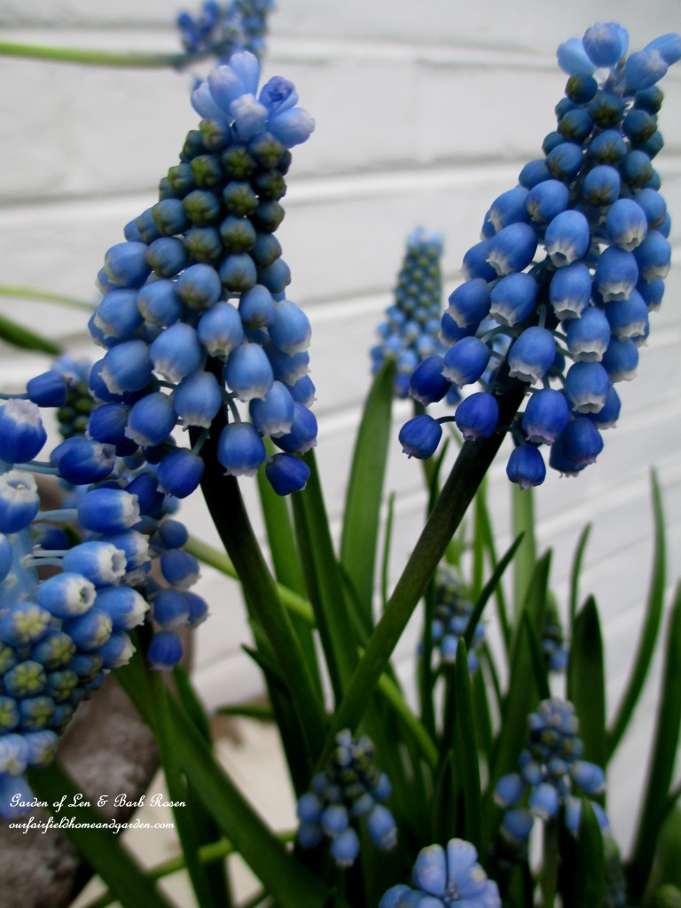 Muscari ~ Grape Hyacinths http://ourfairfieldhomeandgarden.com/mid-april-spring-blooms-in-the-garden/