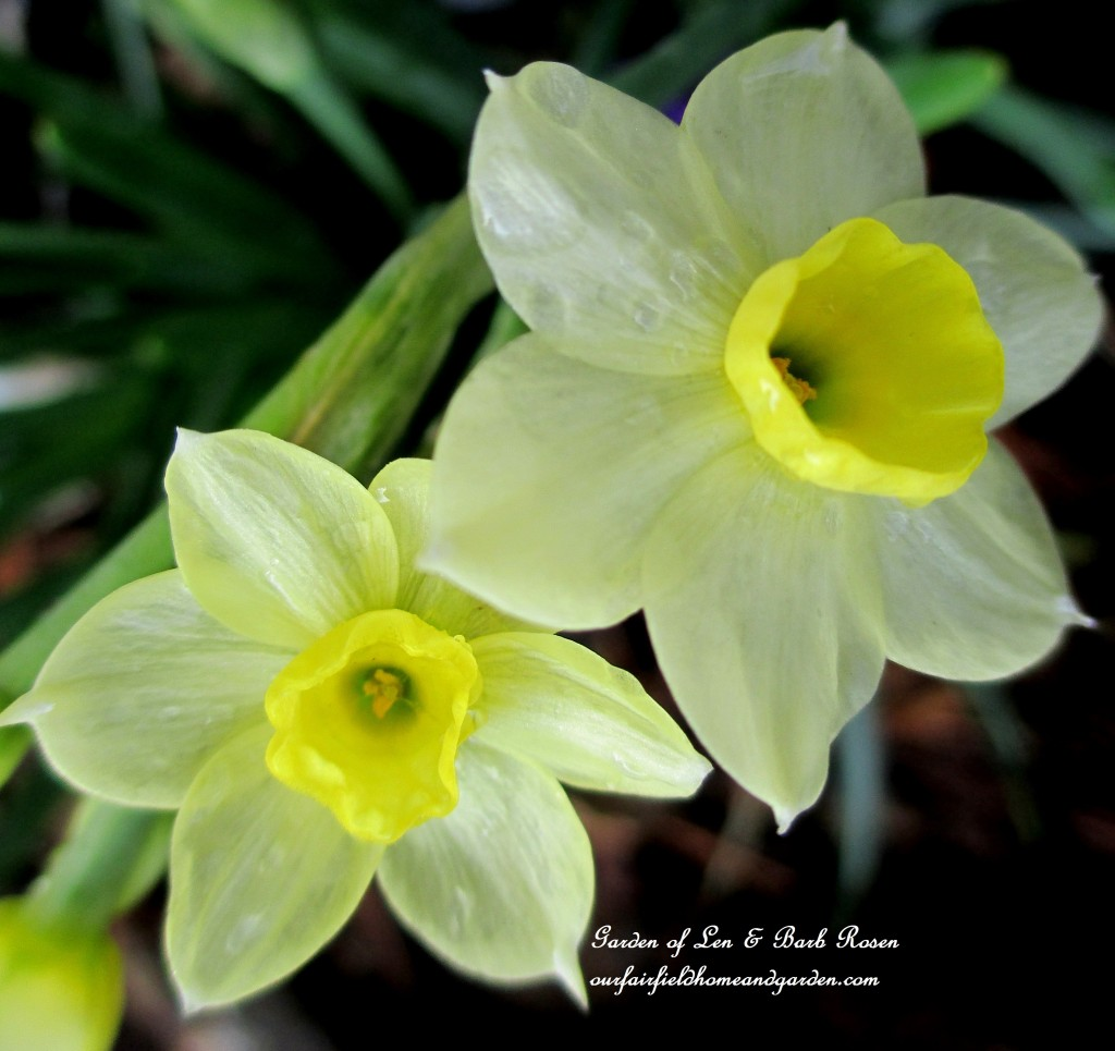 "Narcissus ""Minnow"" http://ourfairfieldhomeandgarden.com/mid-april-spring-blooms-in-the-garden/"