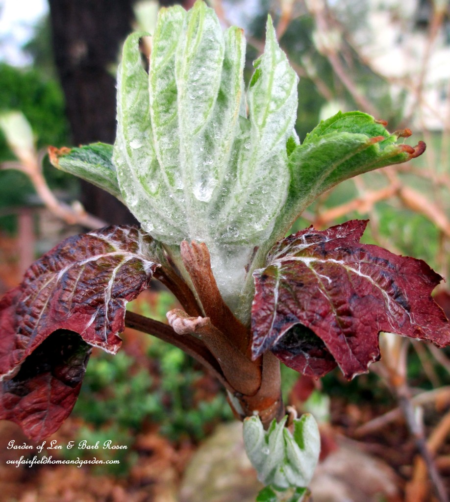 Oakleaf Hydrangea leaves unfolding https://ourfairfieldhomeandgarden.com/mid-april-spring-blooms-in-the-garden/