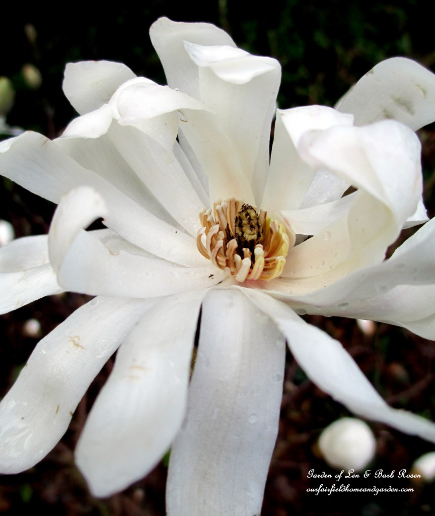 Star Magnolia Bloom http://ourfairfieldhomeandgarden.com/mid-april-spring-blooms-in-the-garden/