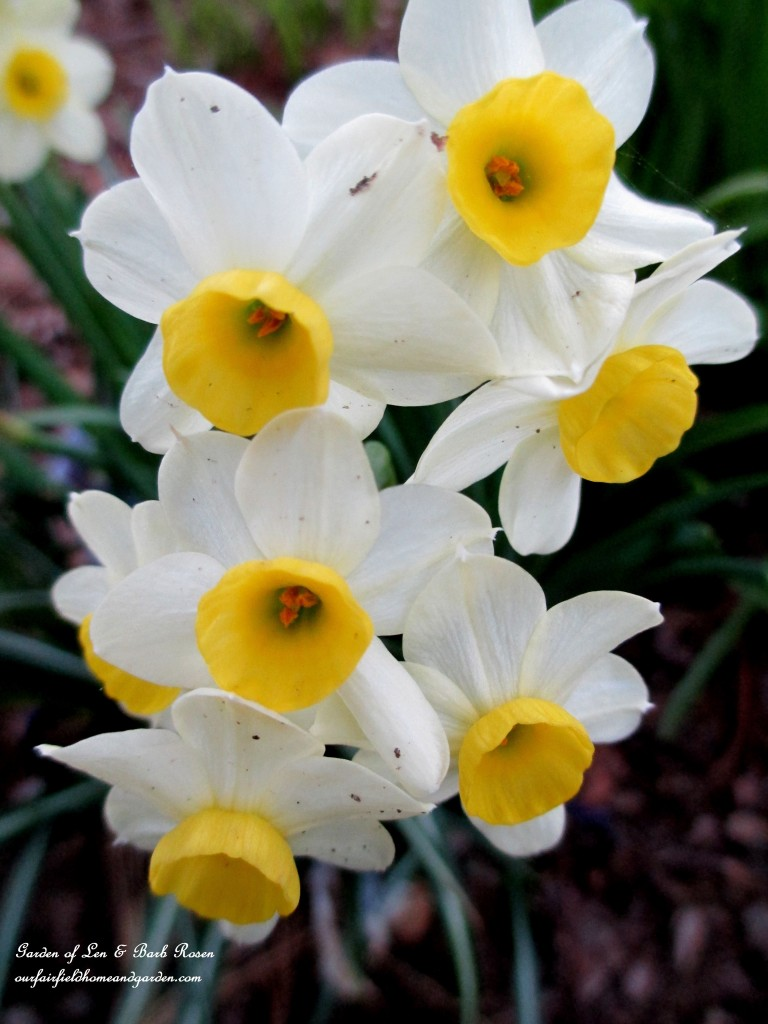 Tiny Narcissus Blooms https://ourfairfieldhomeandgarden.com/april-18th-whats-blooming-today/