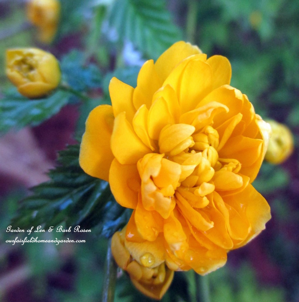 Double Kerria Flower http://ourfairfieldhomeandgarden.com/april-18th-whats-blooming-today/