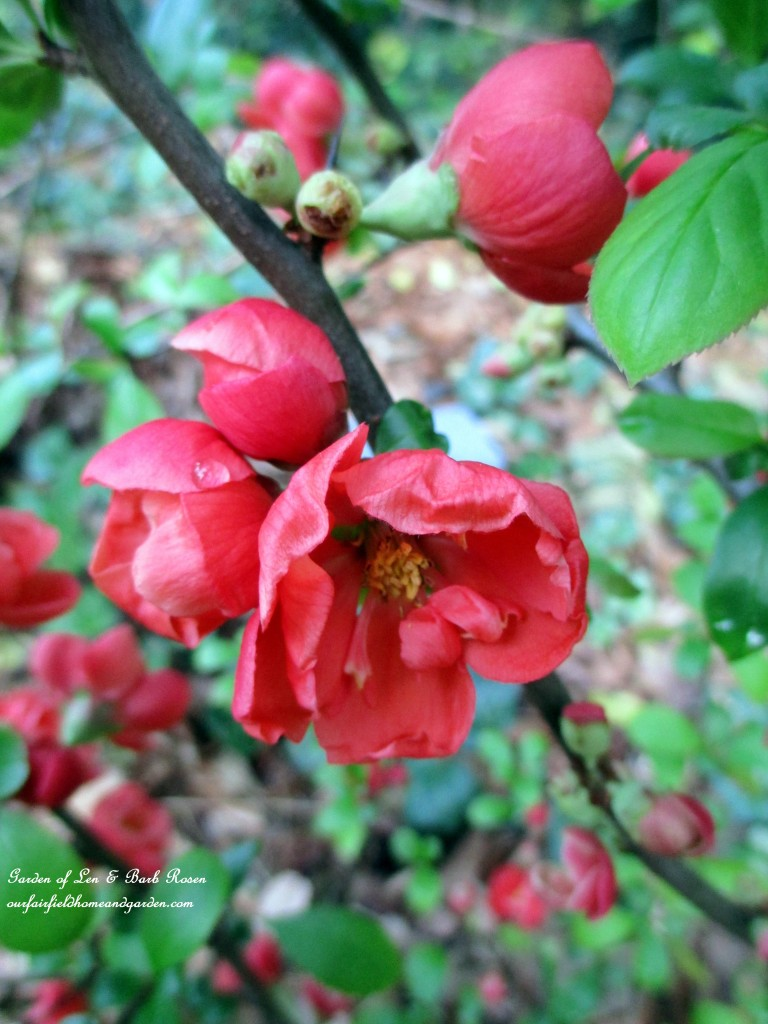 Flowering Quince http://ourfairfieldhomeandgarden.com/april-18th-whats-blooming-today/