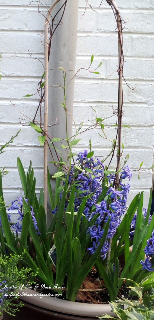 Potted Clematis underplanted with Hyacinths https://ourfairfieldhomeandgarden.com/april-18th-whats-blooming-today/