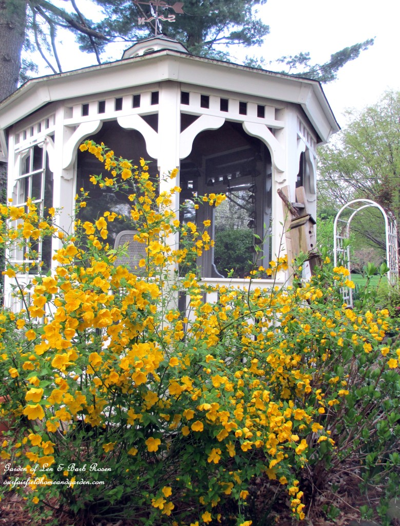 Cheery yellow Kerria by the gazebo. http://ourfairfieldhomeandgarden.com/april-18th-whats-blooming-today/