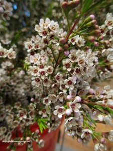 3 stems ~ waxflower