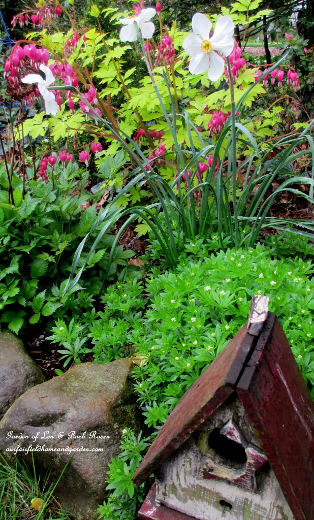 "Spring flower bed of narcissus ""Poet"", astilbe, dicentra and sweet woodruff."