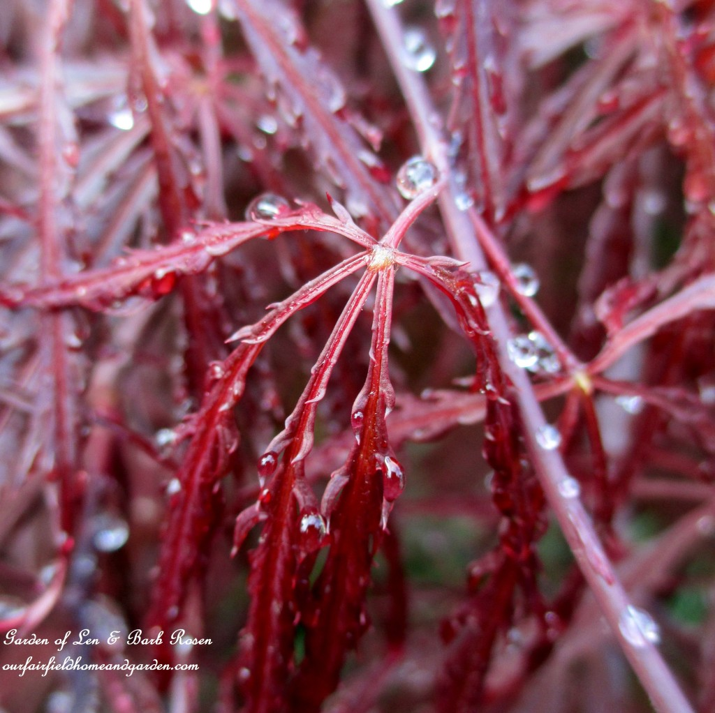 Fringed Japanese Maple leaves after a spring rain. https://ourfairfieldhomeandgarden.com/the-merry-merry-month-of-may/