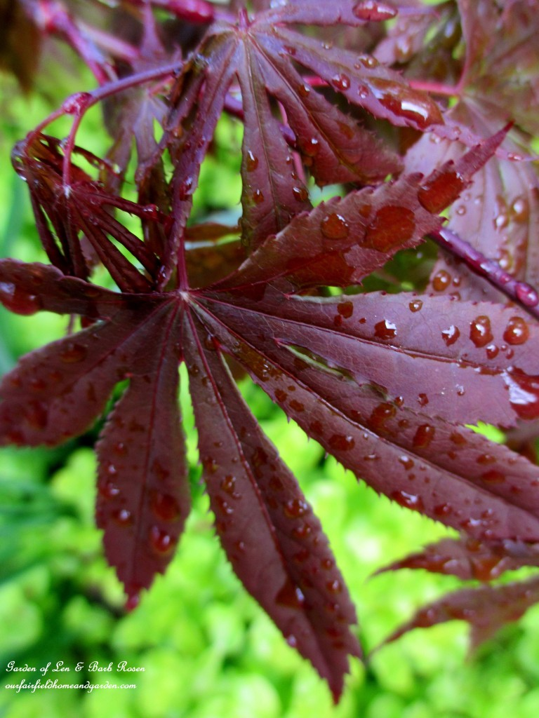 Japanese Maple Leaf https://ourfairfieldhomeandgarden.com/the-merry-merry-month-of-may/