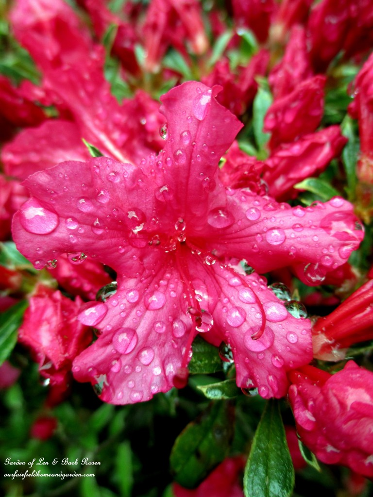 Azalea after a shower http://ourfairfieldhomeandgarden.com/the-merry-merry-month-of-may/