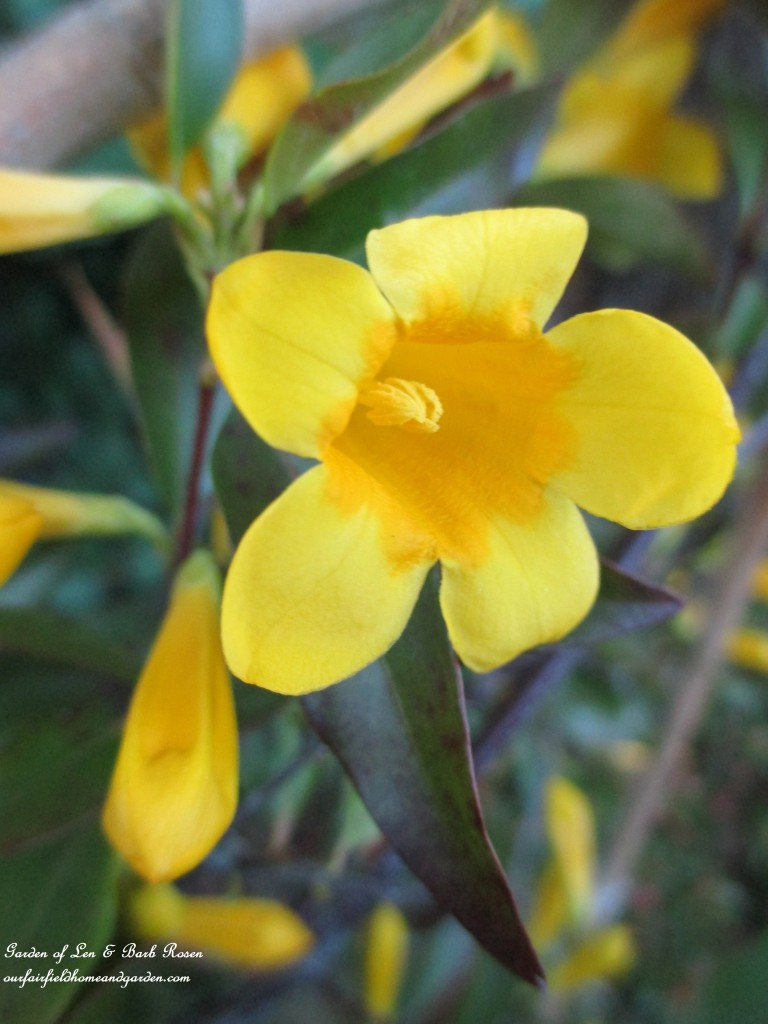 Carolina Jasmine https://ourfairfieldhomeandgarden.com/the-merry-merry-month-of-may/