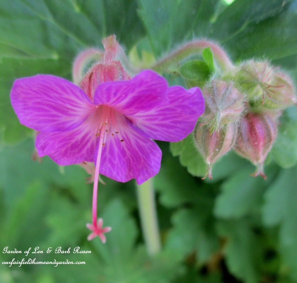 hardy geranium http://ourfairfieldhomeandgarden.com/the-merry-merry-month-of-may/