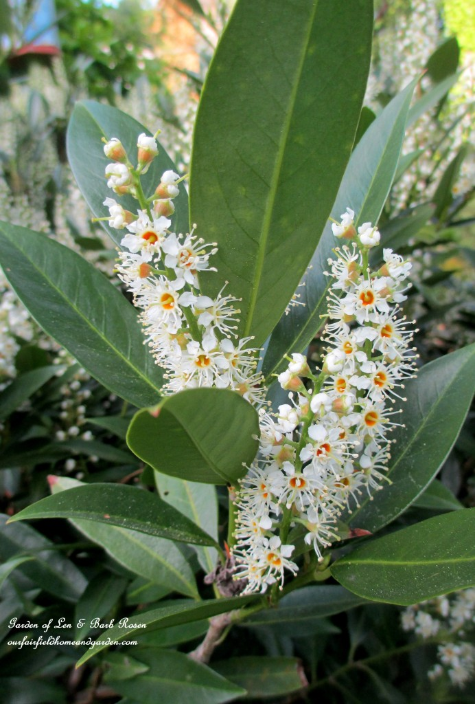 cherry laurel shrub in bloom http://ourfairfieldhomeandgarden.com/the-merry-merry-month-of-may/