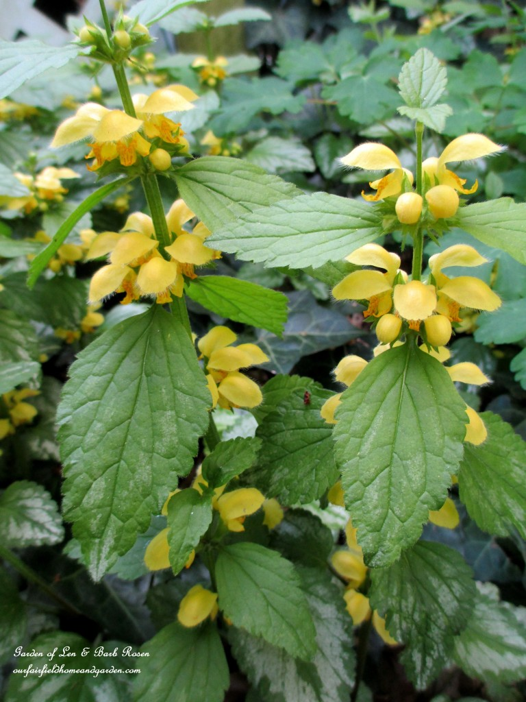 lamium https://ourfairfieldhomeandgarden.com/the-merry-merry-month-of-may/