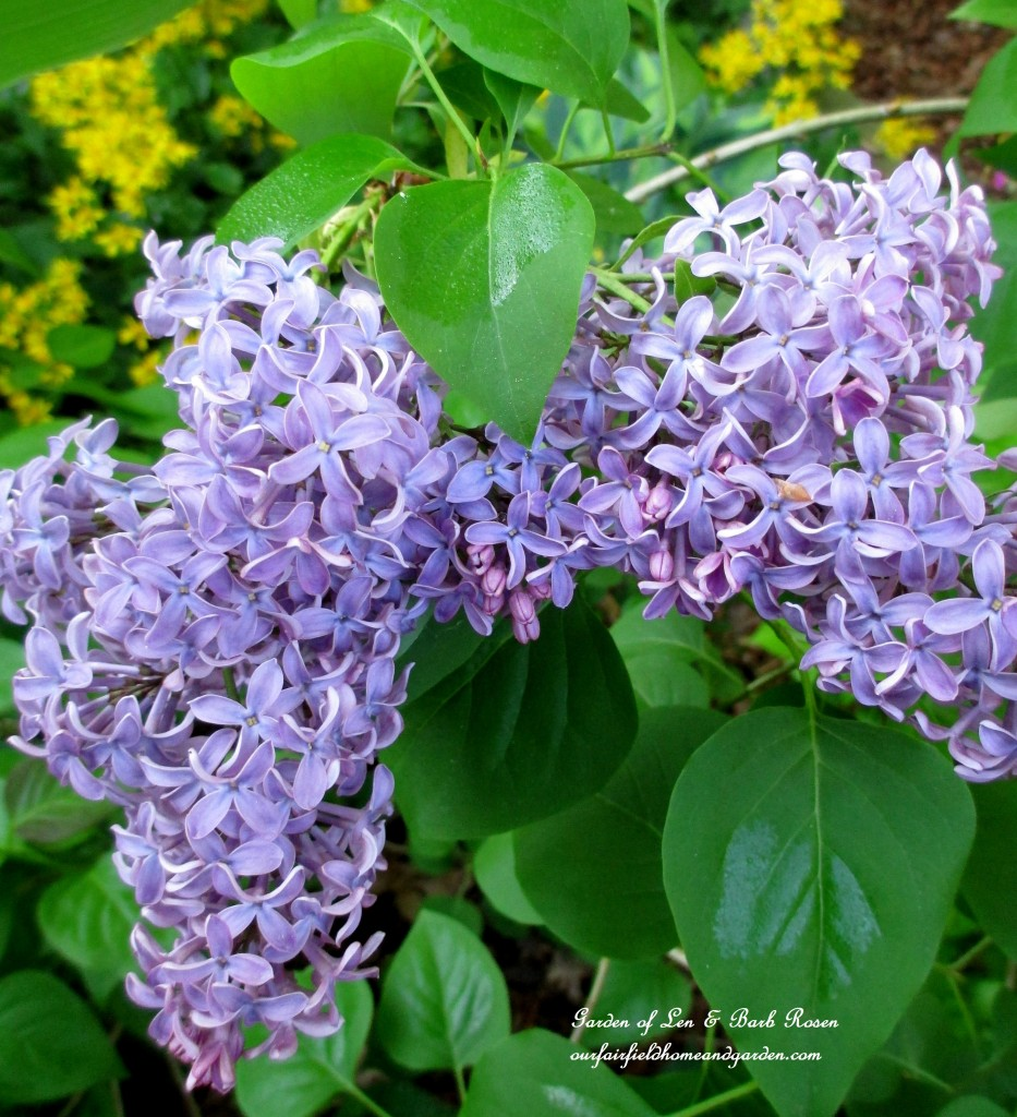 Lilac ~ from a start from my mother