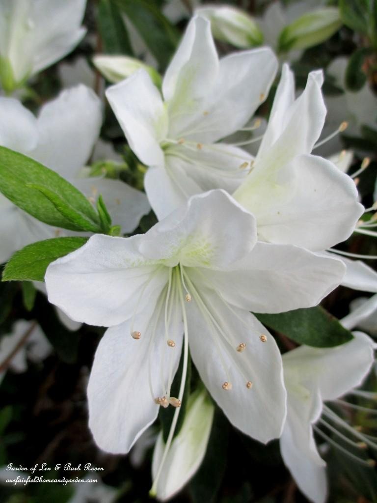 """Delaware Valley"" white azalea"