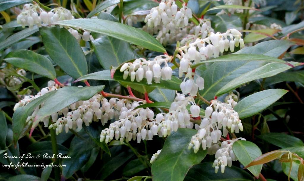 Leucothoe Shrub Blooming http://ourfairfieldhomeandgarden.com/may-garden-birdhouses-flowers/